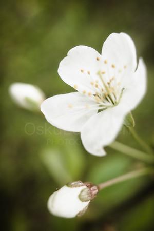 Cherry Blossoms In Pispala Garden VI