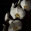 Eve's Orchids