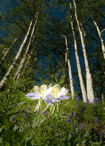Columbine Forest