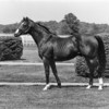 Northern Dancer in 1983<br /> Photo by: Milt Toby