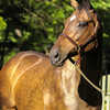 Dance Smartly at Greystone Farm near  Paris, Kentucky, on July 17, 2003. Dance Smartly is owned by Tammy Samuel Balaz of Sam-Son Farms in Canada.<br /> DanceSmartlyOrigs1 image25<br /> Photo by Anne M. Eberhardt