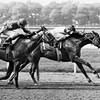 Affirmed wins the 1977 Youthful Stakes at Belmont Park in New York. <br /> Photo by: Bob Coglianese