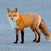 Red Fox<br /> (Îles de Boucherville N.P., Boucherville, Qc)<br /> december 2013