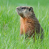 Groundhog<br /> (île de la commune, Berthier, Qc)<br /> may 2013