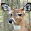 White-tailed Deer<br /> (îles de Boucherville N.P., Boucherville, Qc)<br /> may 2014