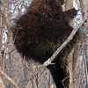 North American Porcupine<br /> (St-Thomas de Joliette, Qc)<br /> may 2014