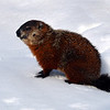 Groundhog<br /> (St-Barthélemy, Qc)<br /> march 2014