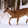 White-tailed Deer<br /> (Îles de Boucherville N.P., Boucherville, Qc)<br /> march 2014