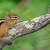 Chipmunk<br /> (Georgian Bay, Ontario)<br /> june 2011