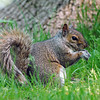 American Gray Squirrel<br /> (Terrebonne, Qc)<br /> may 2012