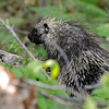 North American Porcupine<br /> (Georgian Bay, Ontario)<br /> june 2011