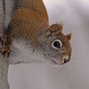 American Red Squirrel<br /> (Sherbrooke, Qc)<br /> february 2012