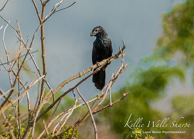 Grooved Billed Ani