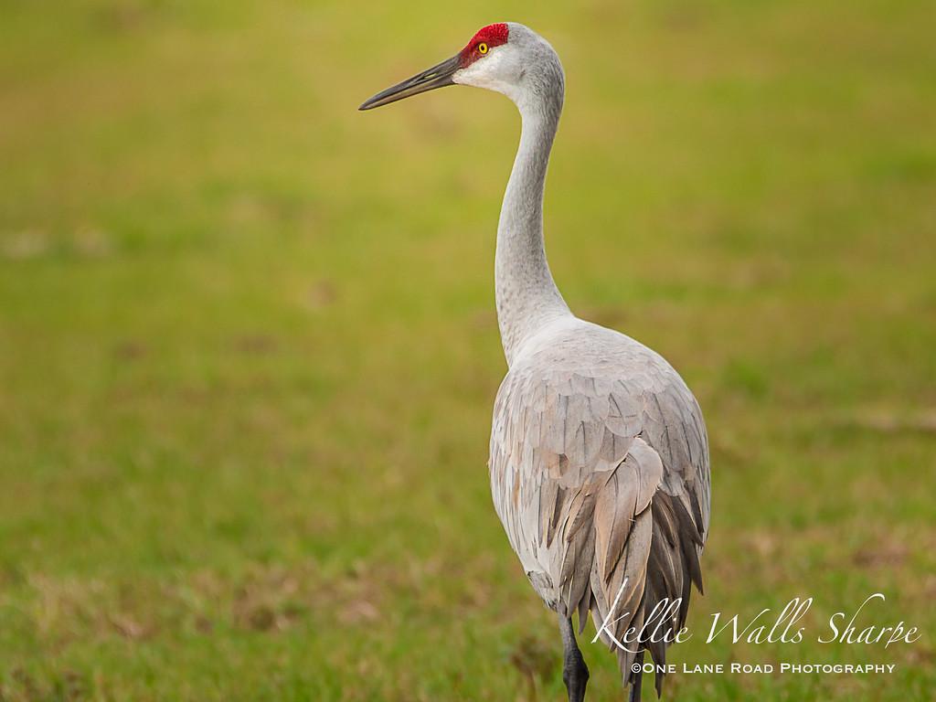Portrait of a Sandhill Crane