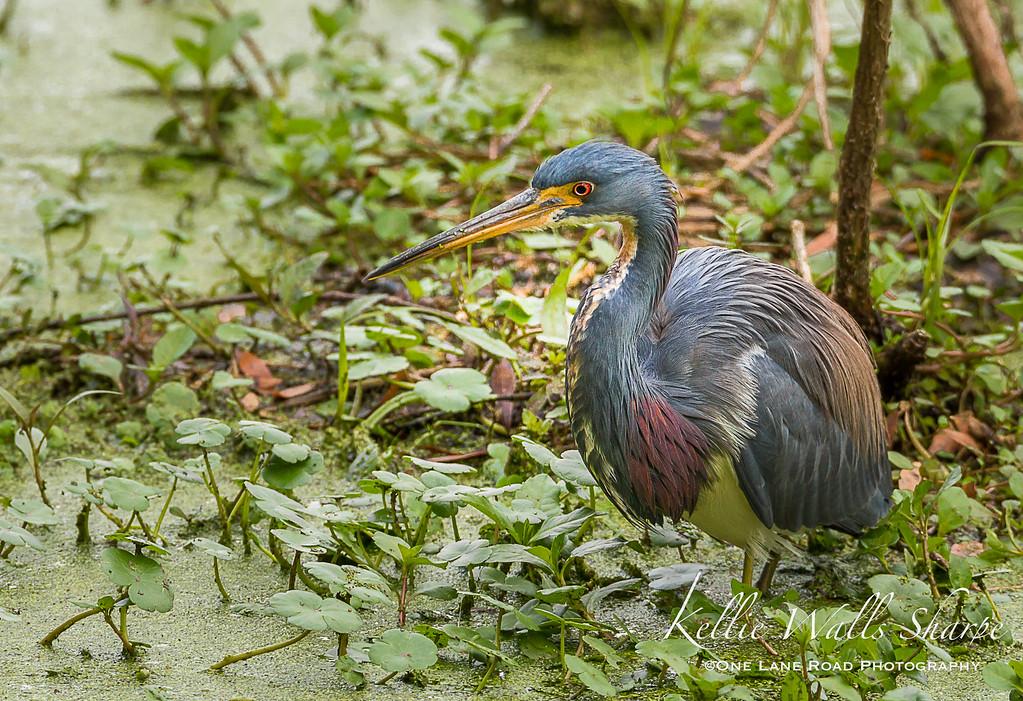 Tri Colored Heron at Clay Island