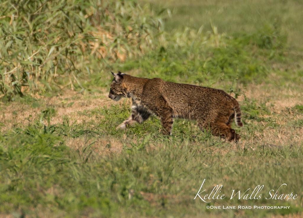 Bobcat on Clay Island