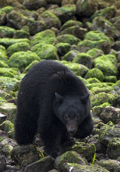 A black bear in Clayoquot Sound, British Columbia