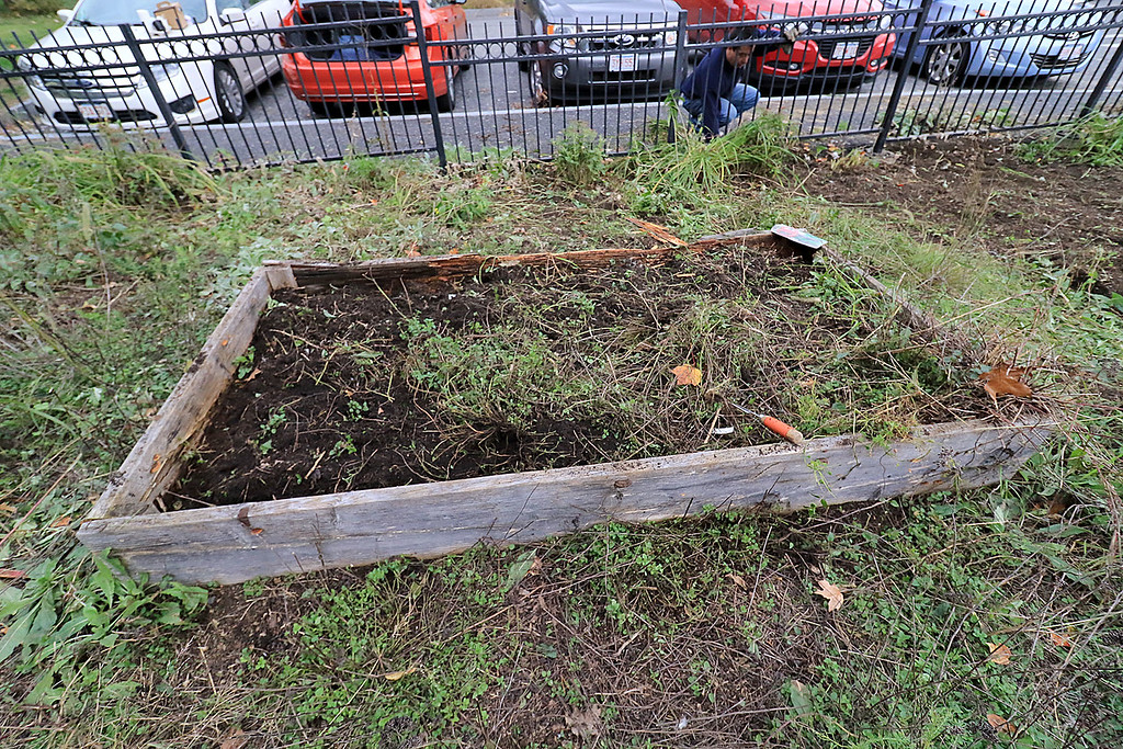 . Gardeners & volunteers cleaned up the Gateway Park Community Gardens in Fitchburg on Saturday, October 20, 2018. They pulled weeds racked the area and fixed the walkway. they also had new wood to build new garden beds. The wood was gotten through the Gateway Park fund and with some help from Growing Places. This is one of the flower beds that will be replace with a new one. SENTINEL & ENTERPRISE/JOHN LOVE