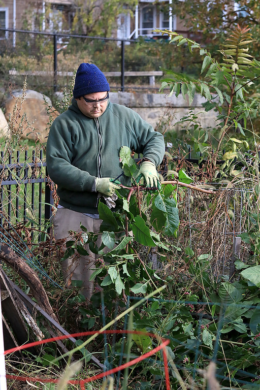 . Gardeners & volunteers cleaned up the Gateway Park Community Gardens in Fitchburg on Saturday, October 20, 2018. They pulled weeds racked the area and fixed the walkway. they also had new wood to build new garden beds. The wood was gotten through the Gateway Park fund and with some help from Growing Places. Helping with the cleanup was volunteer Miles Gilchrist. SENTINEL & ENTERPRISE/JOHN LOVE