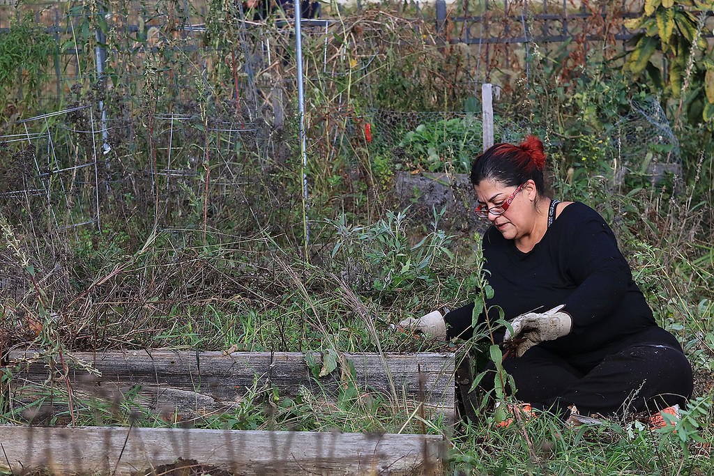 . Gardeners & volunteers cleaned up the Gateway Park Community Gardens in Fitchburg on Saturday, October 20, 2018. They pulled weeds racked the area and fixed the walkway. they also had new wood to build new garden beds. The wood was gotten through the Gateway Park fund and with some help from Growing Places. Helping with the cleanup was volunteer Rosa De Sousa. SENTINEL & ENTERPRISE/JOHN LOVE