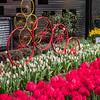 Bikes and tulips
