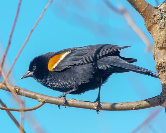 The Eager Black Bird