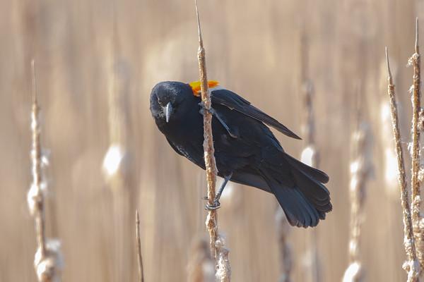 Black Bird on a Reed