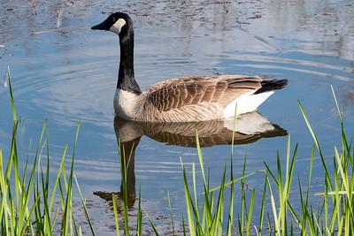 Goose Bobbin