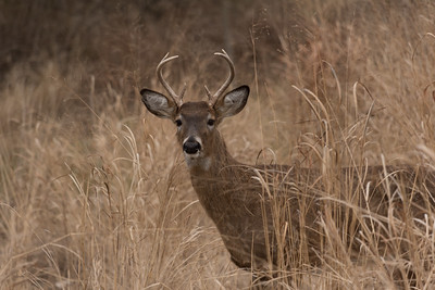 Buck in the High Grass
