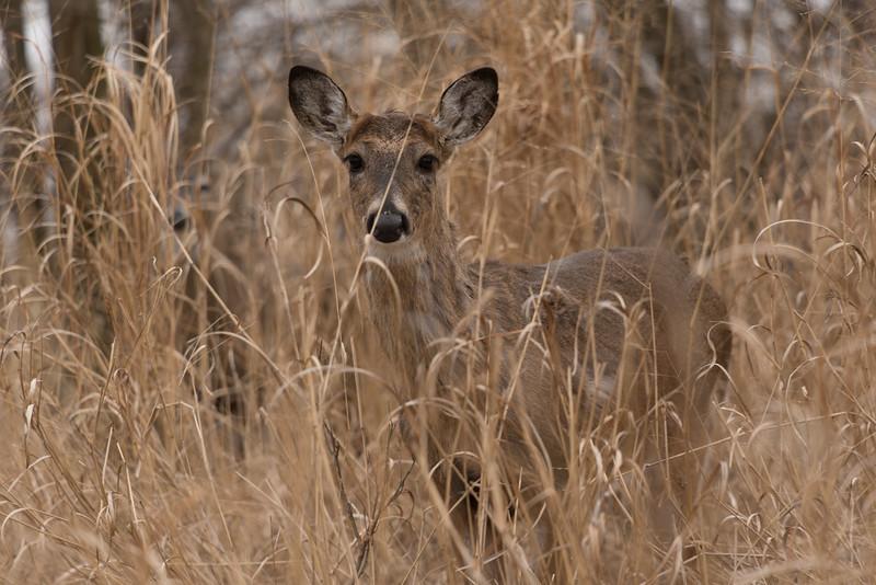 Button Buck in the High Grass