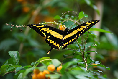 Butterfly, Costa Rica Biome, 2018
