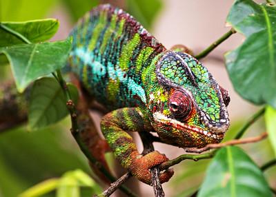 Panther Chameleon, Madagascar Biome, 2018.
