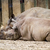 Sleeping Black Rhinos