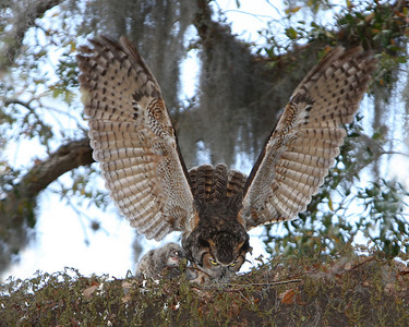 Great Horned Owl with babies. Mama showing her wings.