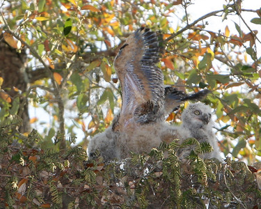 Great Horned Owl babies