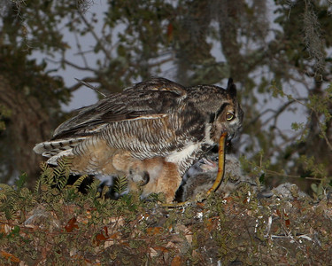 Great Horned Owl with babies