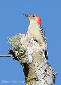 Young Red-Bellied Woodpecker