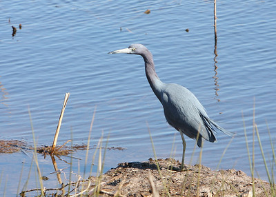 Little Blue Heron at the Savannah National Wildlife Refuge