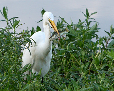 Great Egret been fishing at the Savannah National Wildlife Refuge