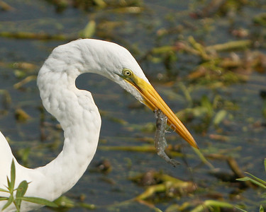 Great Egret with lunch at the Savannah National Wildlife Refuge