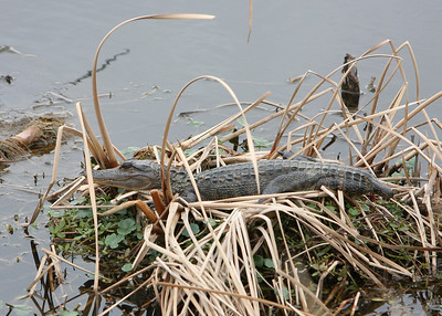 Stub-tailed gator at the Savannah National Wildlife Refuge