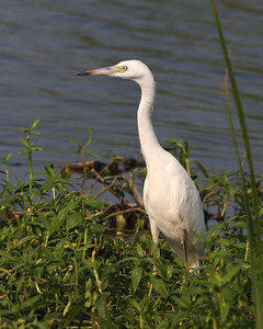 Young Little Blue Heron at the Savannah National Wildlife Refuge