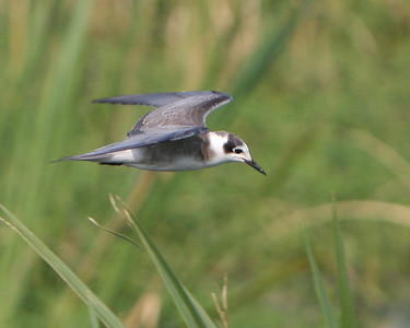 Black Tern at the Savannah National Wildlife Refuge