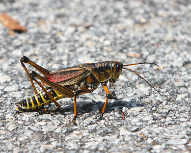 Grasshopper at the Savannah National Wildlife Refuge