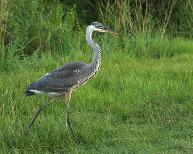 Great Blue Heron at the Savannah National Wildlife Refuge