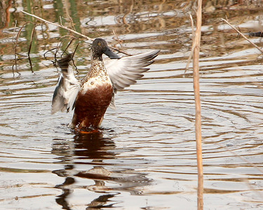 Northern Shoveler dancing at the Savannah National Wildlife Refuge