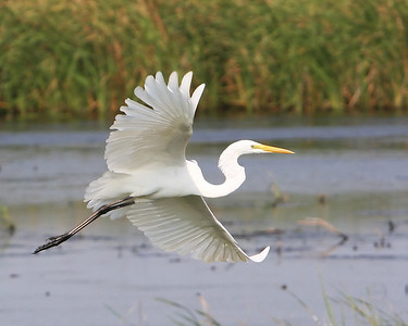 Great Egret showing off at the Savannah National Wildlife Refuge