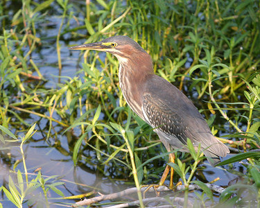 Green Heron at the Savannah National Wildlife Refuge