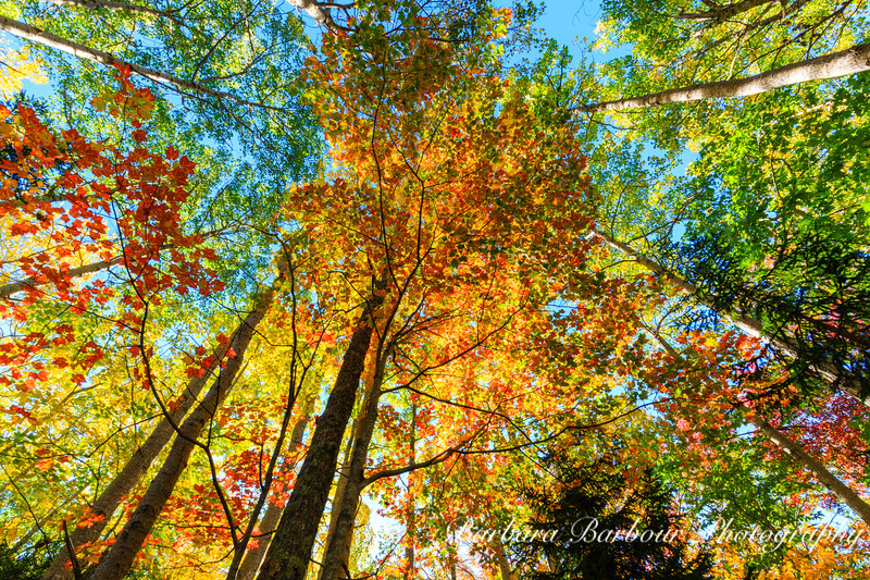 Spectacular fall colors against a blue sky in Acadia National Park