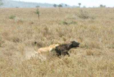 Female lion  taking down  Cape buffalo calf,  Ngorongoro Crater, Tanzania